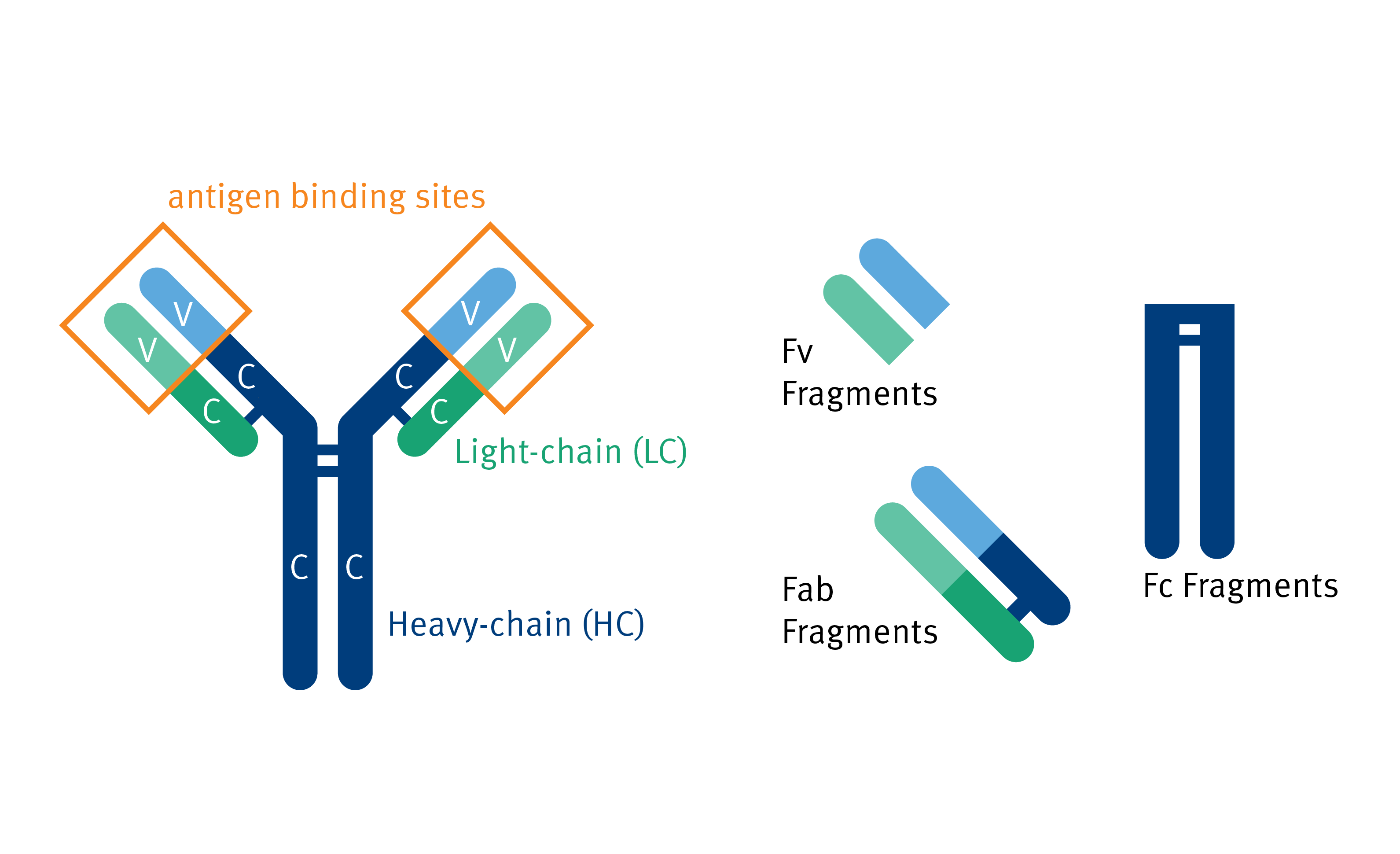 biomark002.397 - Antibody Structure and Fragments